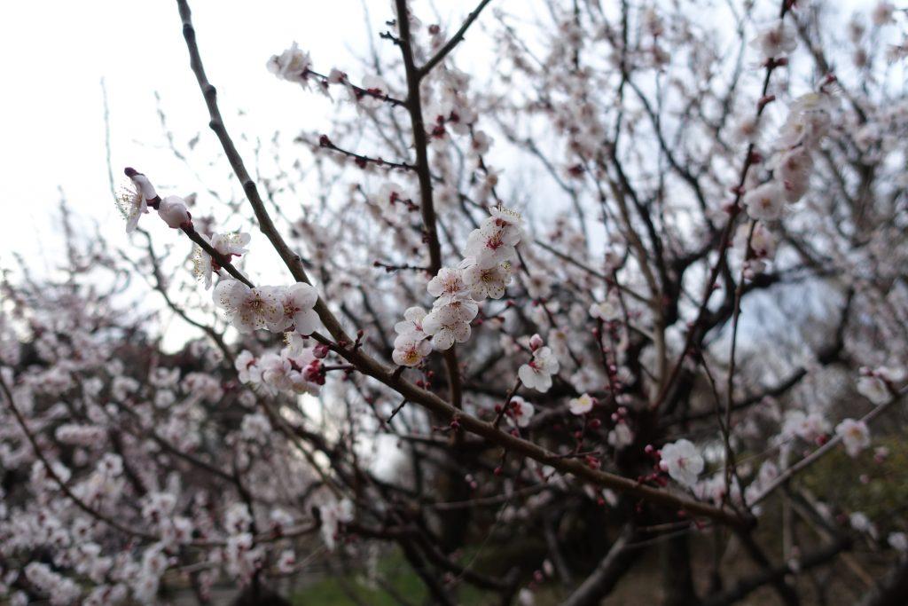 井の頭公園内梅の花