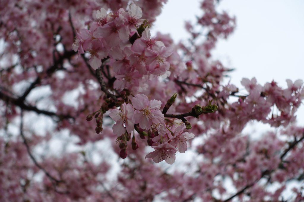 井の頭公園内 桜か