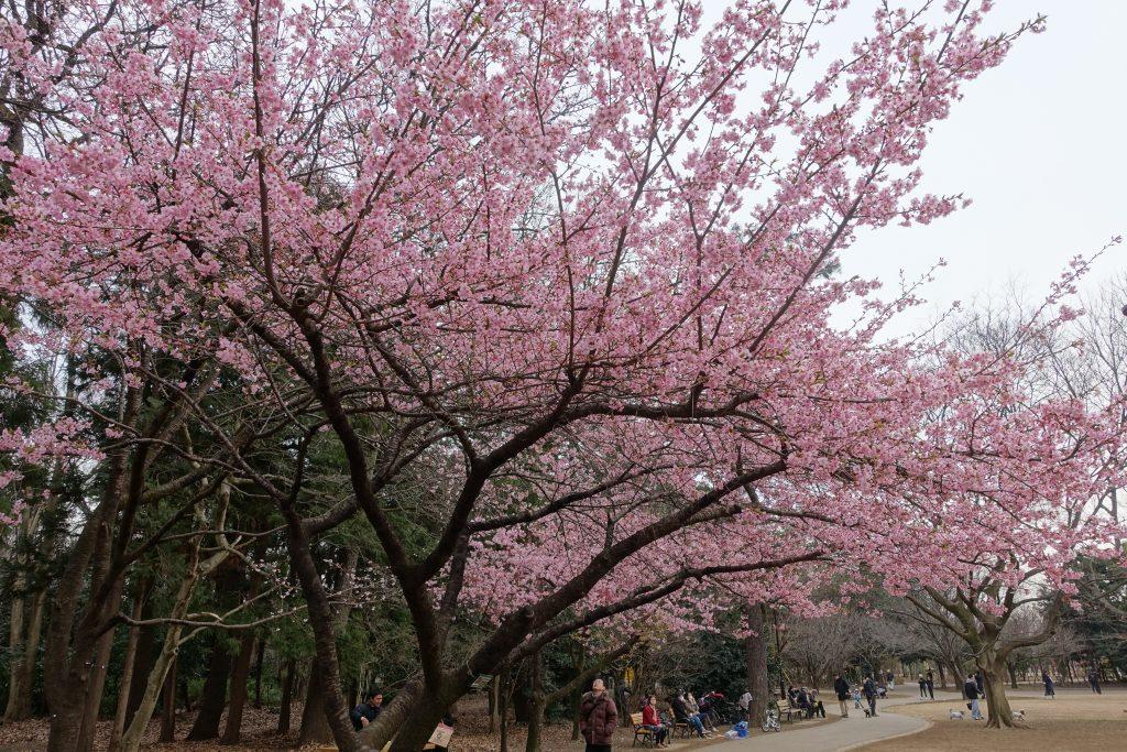 井の頭公園内梅or桜