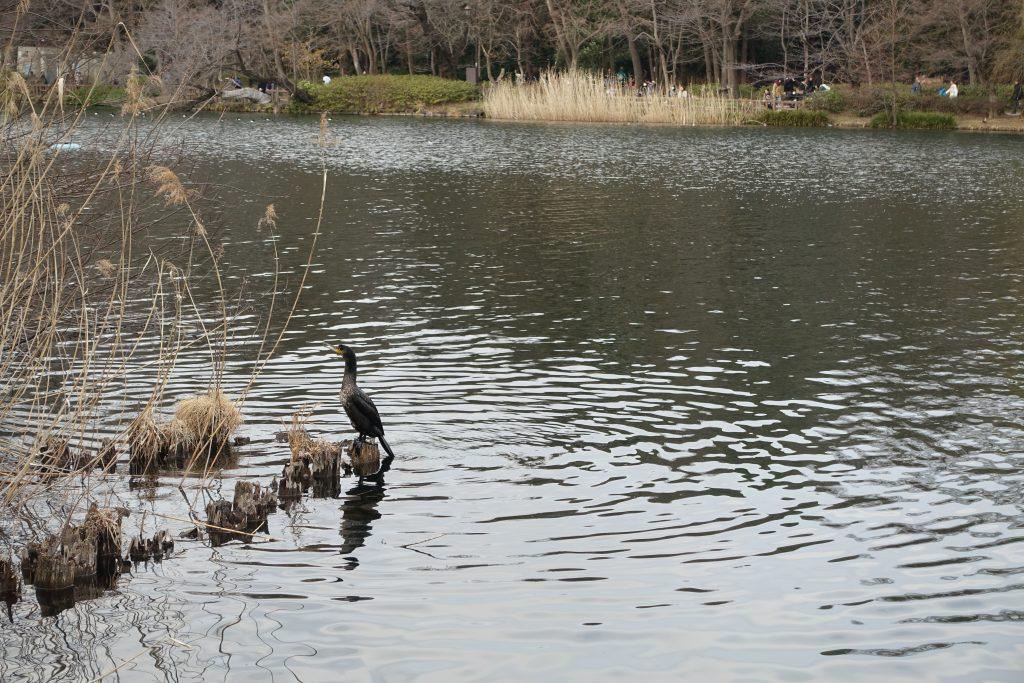 井の頭公園内水鳥