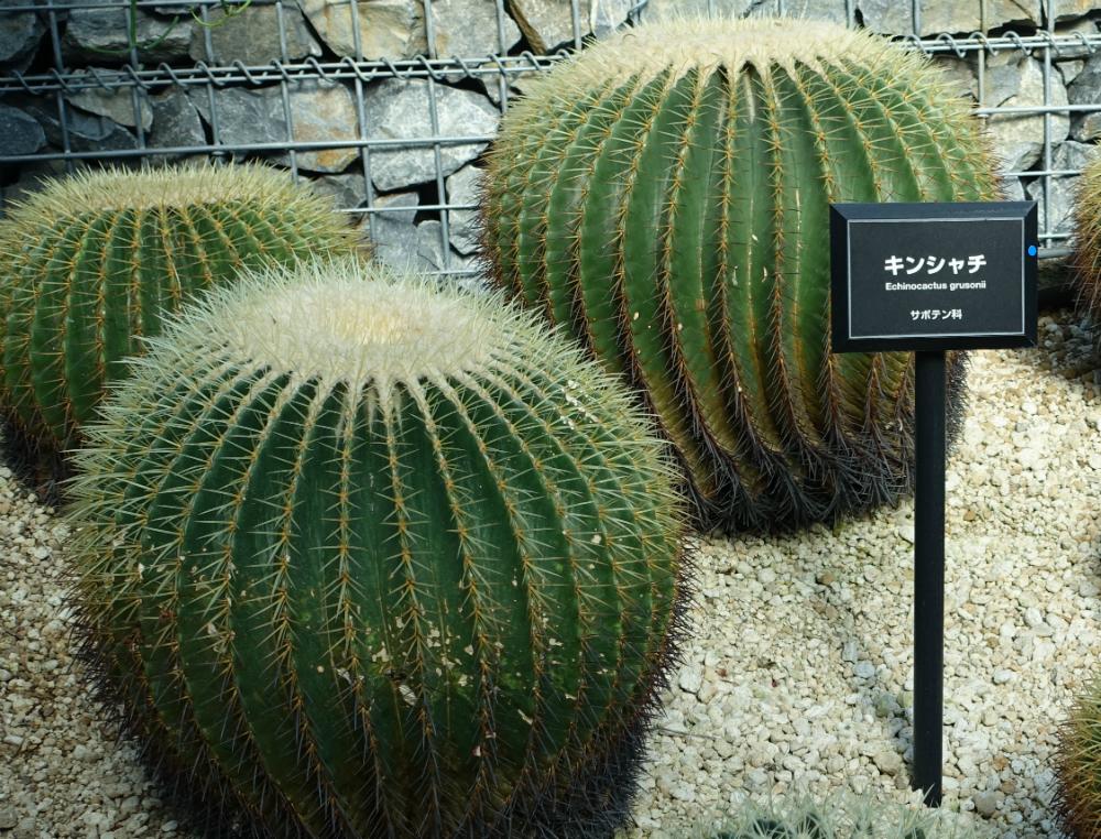 新宿御苑温室 サボテン類