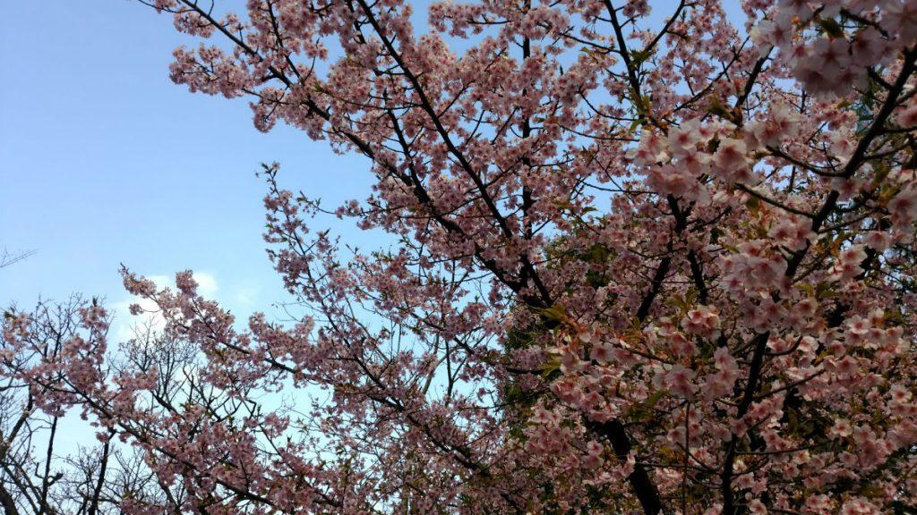 東京世田谷 龍雲寺 境内梅の花