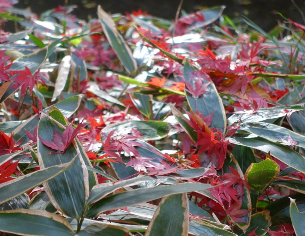 明治神宮御苑 笹と紅葉