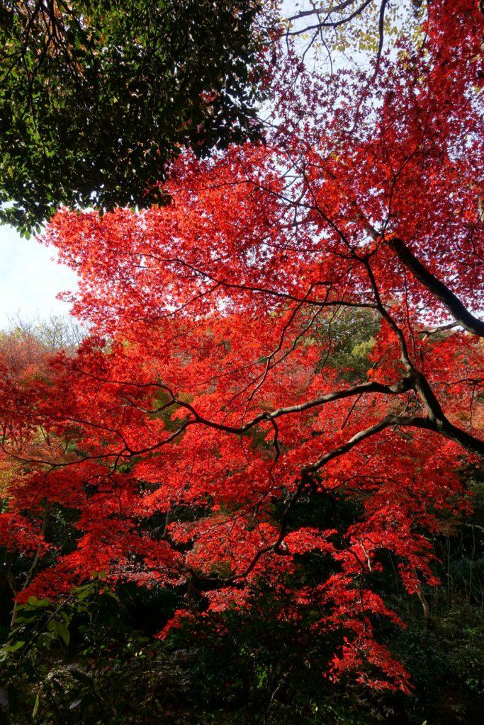 明治神宮御苑 菖蒲田付近の真っ赤な紅葉