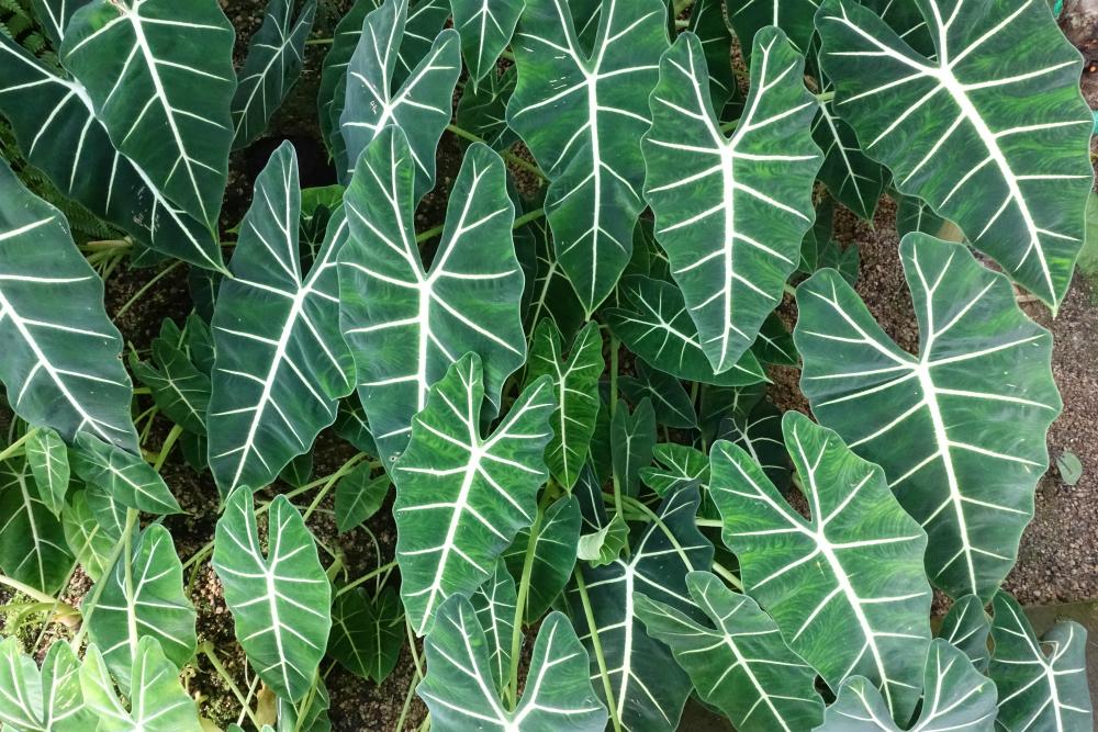 新宿御苑温室の植物03