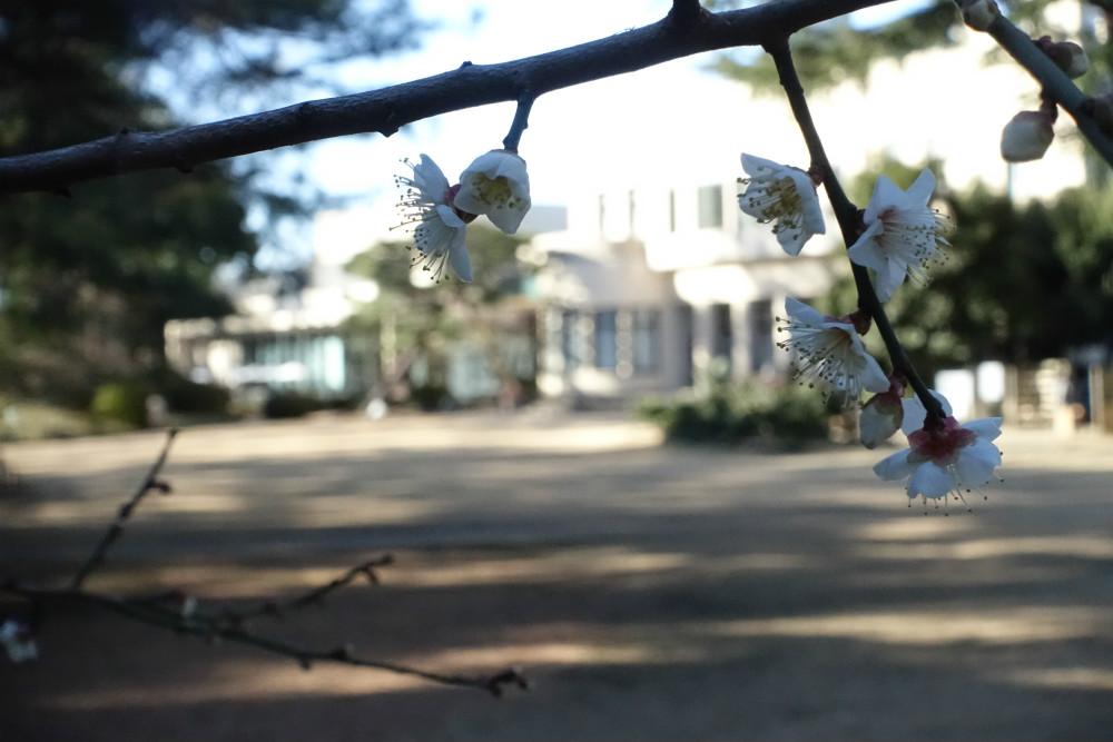 東京都庭園美術館 梅の花越しに