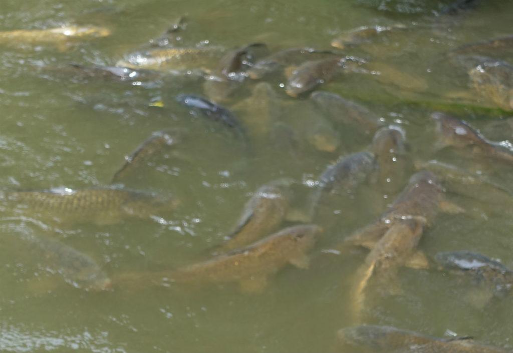 有栖川宮記念公園 池の鯉