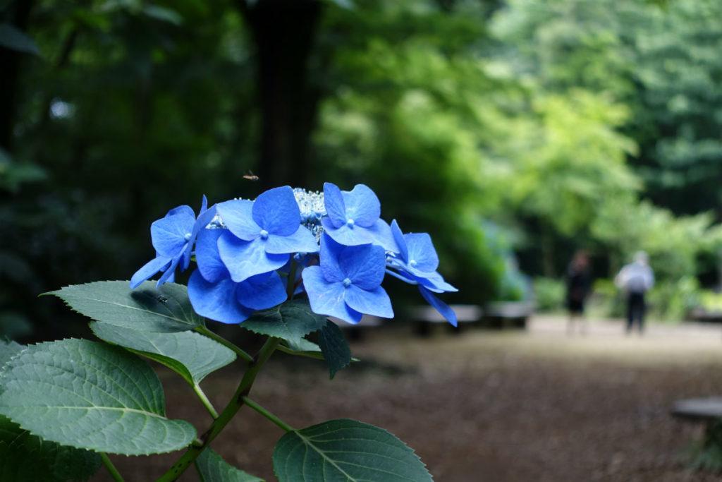 六義園 濃いブルーのアジサイ