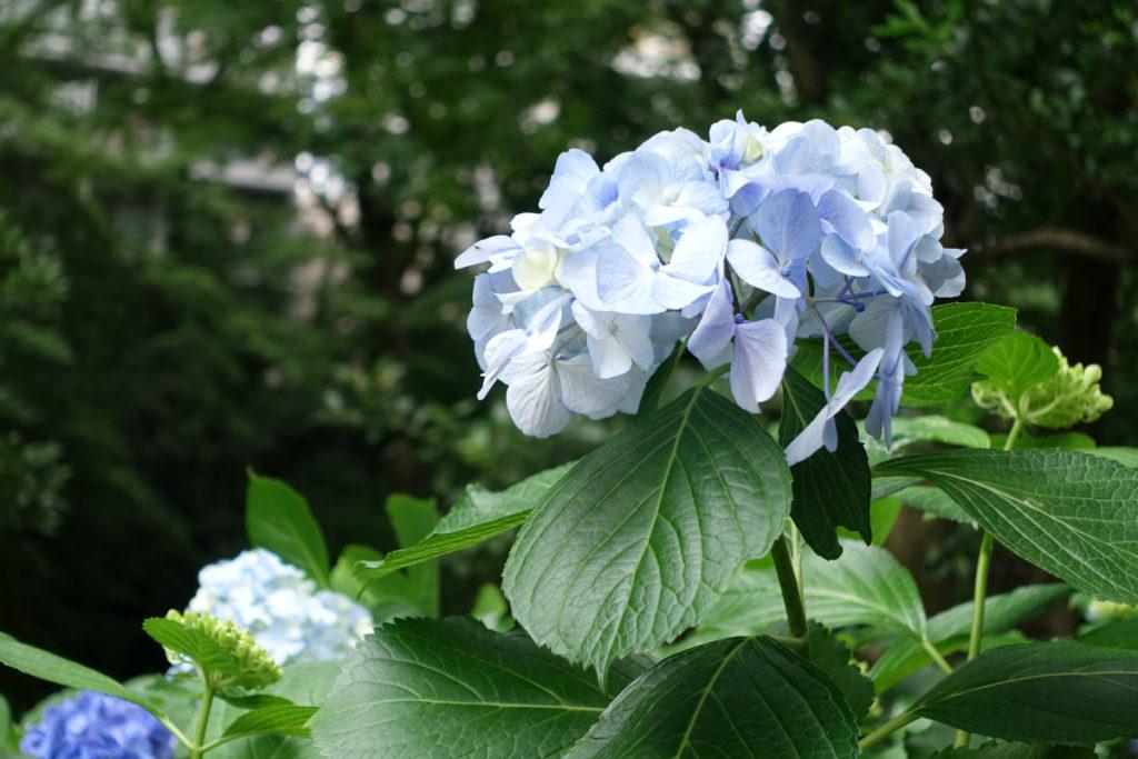 六義園 淡い青のアジサイ