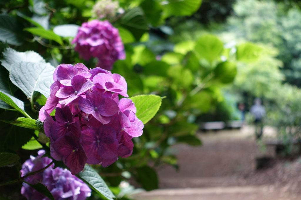 六義園 紫のアジサイ