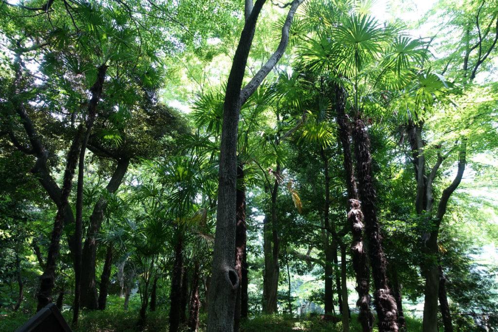 小石川後楽園 木曽山 シュロの木