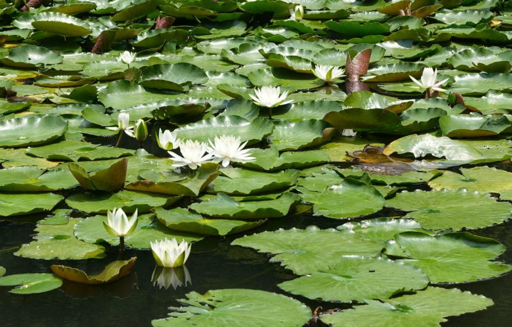 小石川後楽園 内庭の池の蓮