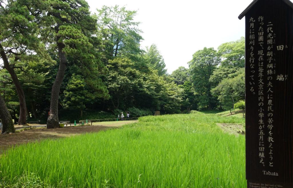 小石川後楽園 松原の北の稲田