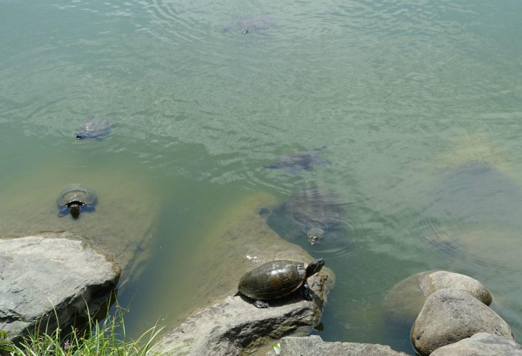 清澄庭園 中の島 亀の一群