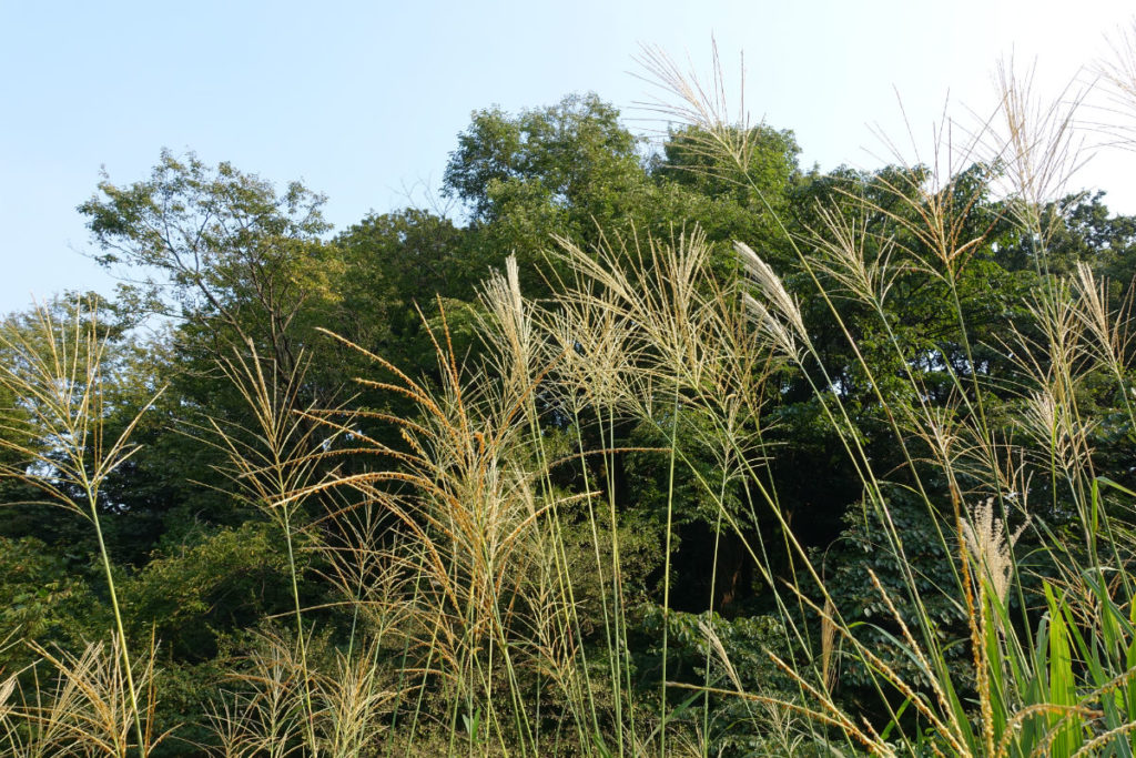 白金台自然教育園28 水生植物園 ススキ
