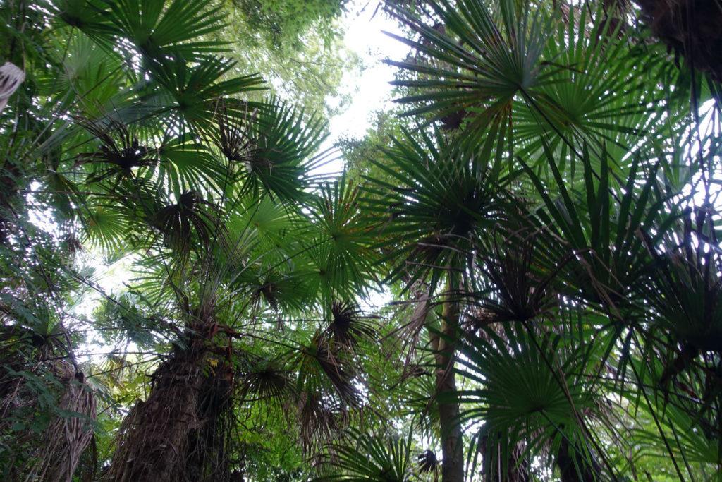 白金台自然教育園36 森の小道 群生するシュロ 温暖化か