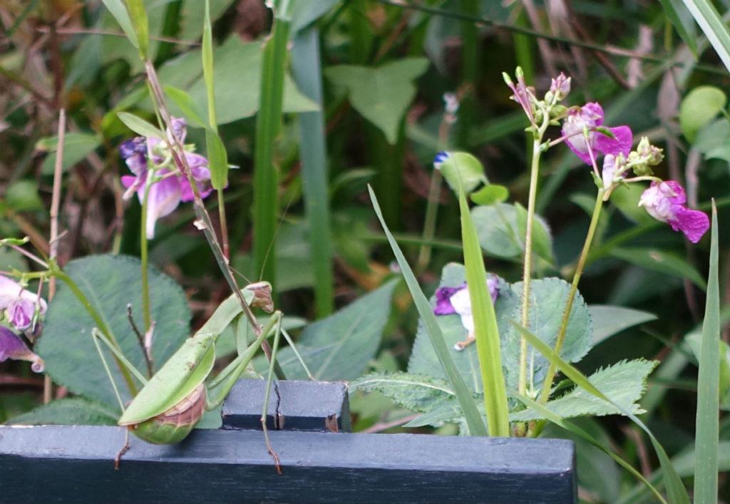 白金台自然教育園33 水生植物園 カマキリ