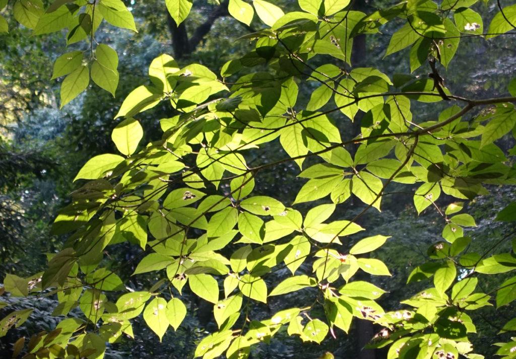 白金台自然教育園37 日の当たる葉