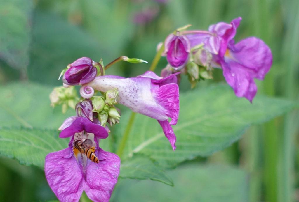 白金台自然教育園30 水生植物園 ツリフネソウとハチ