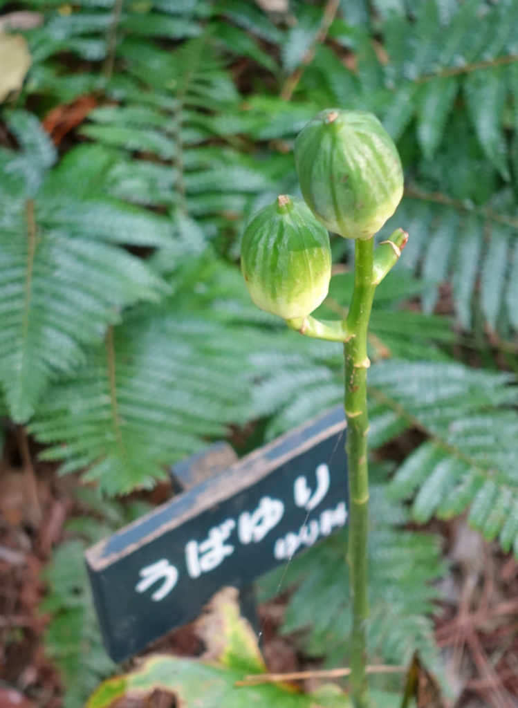 白金台自然教育園47 ウバユリの実