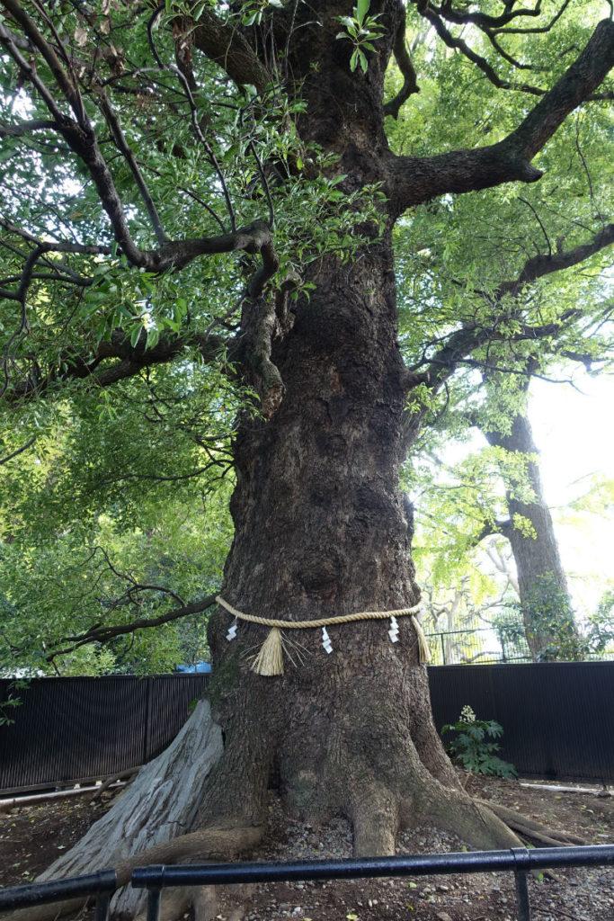上野東照宮 ご神木の大楠