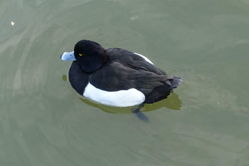 上野恩賜公園 不忍池のオナガガモか 白黒の鳥