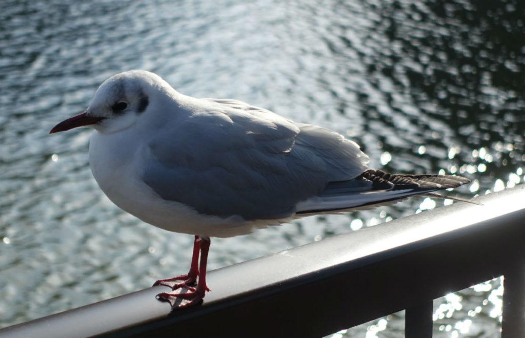 上野恩賜公園 不忍池の白い鳥 カモメか