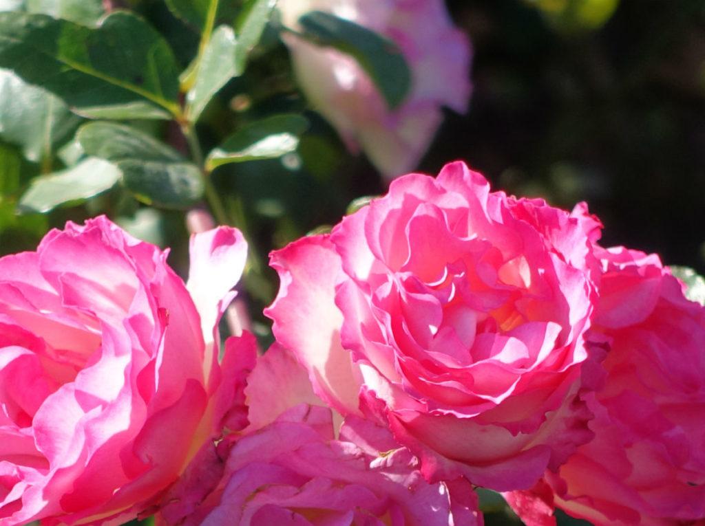 新宿御苑秋 秋バラ 09