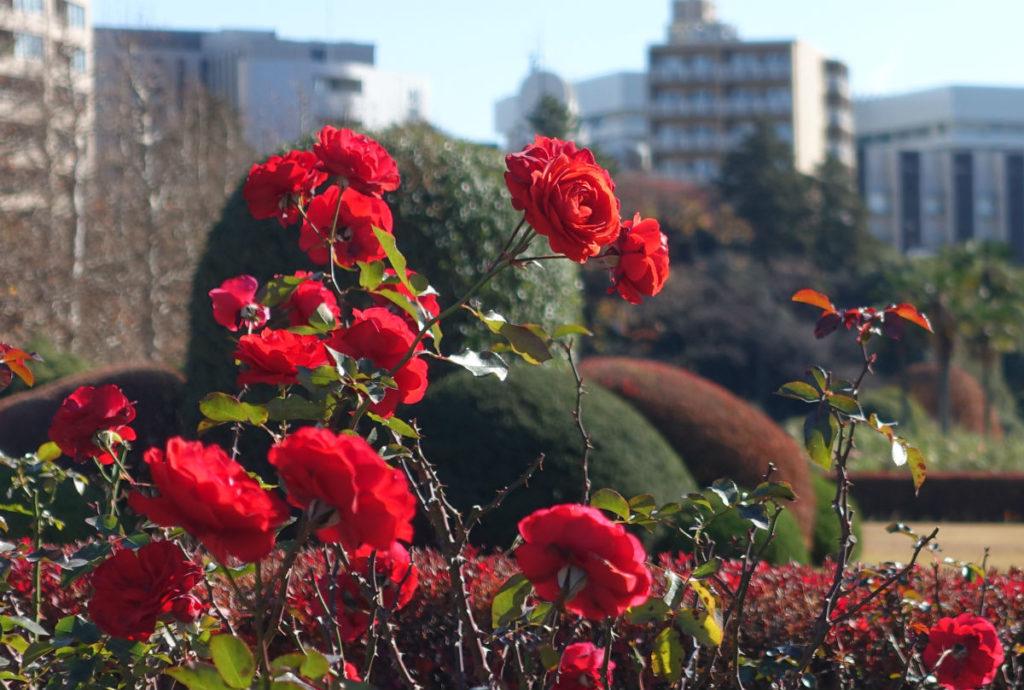 新宿御苑秋 秋バラ 07