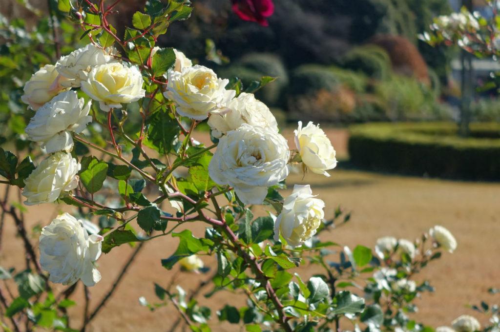 新宿御苑秋 秋バラ 05