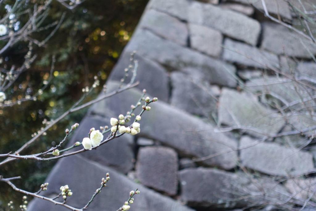 皇居東御苑 梅林坂の梅
