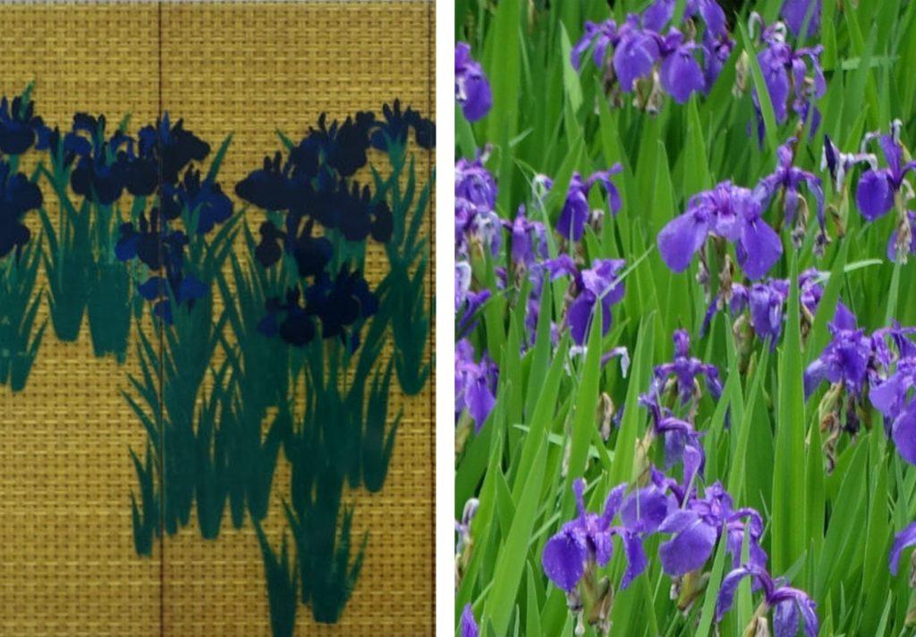 燕子花図 と カキツバタ 実物