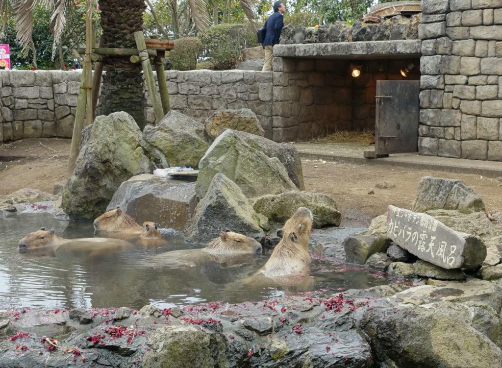 伊豆シャボテン動物公園 カピバラの露天風呂 全景