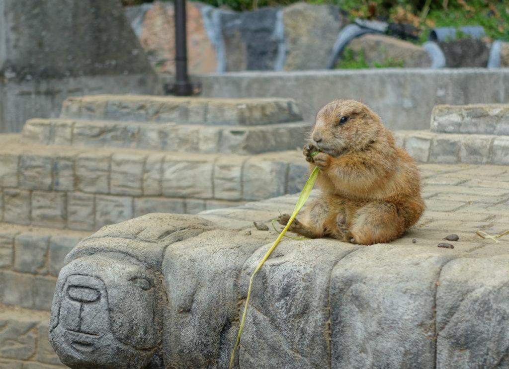 伊豆シャボテン動物公園 食事中のオグロプレーリードッグ