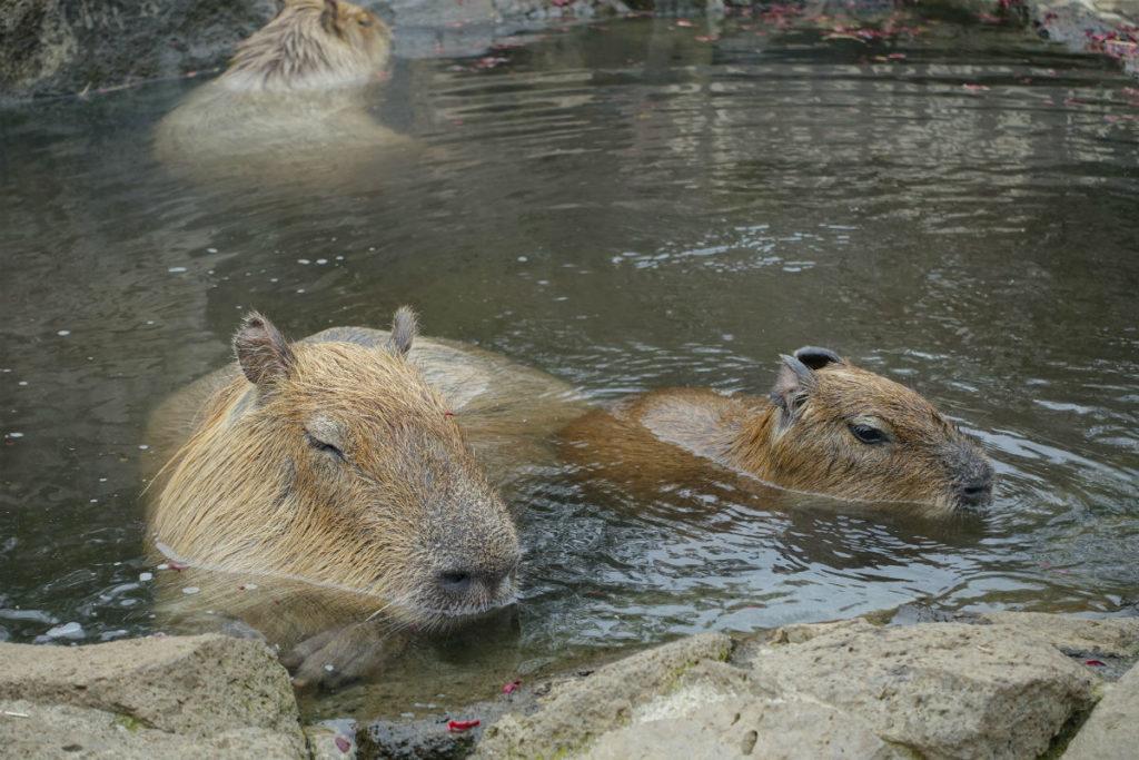 伊豆シャボテン動物公園 カピバラの露天風呂 顔までつかったカピバラ