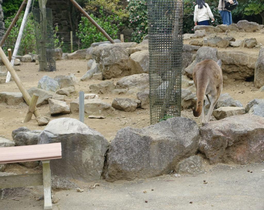 伊豆シャボテン動物公園 カンガルーの丘 クロカンガルー 柵のない展示