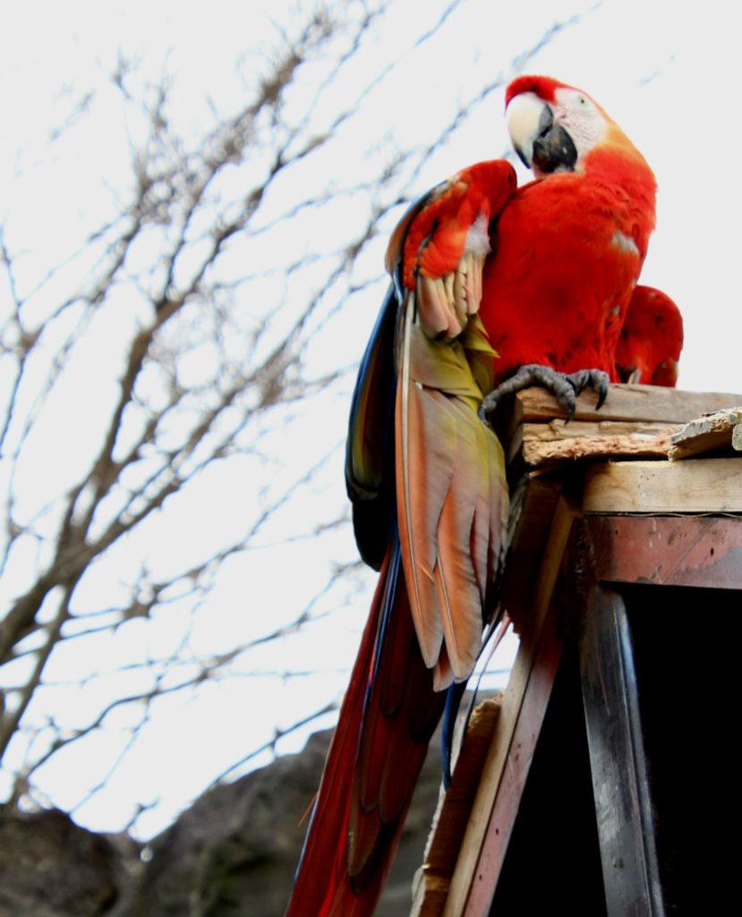 伊豆シャボテン動物公園 コンゴウインコ 赤 紅