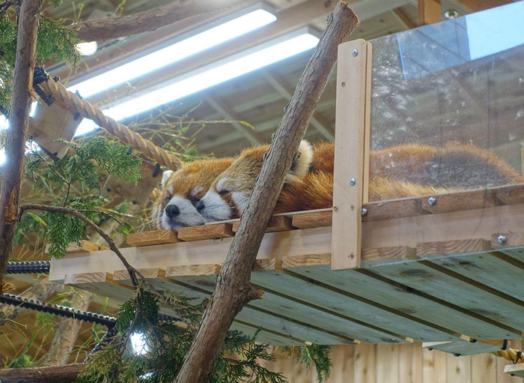 伊豆シャボテン動物公園 レッサーパンダ コナツとヨモギ