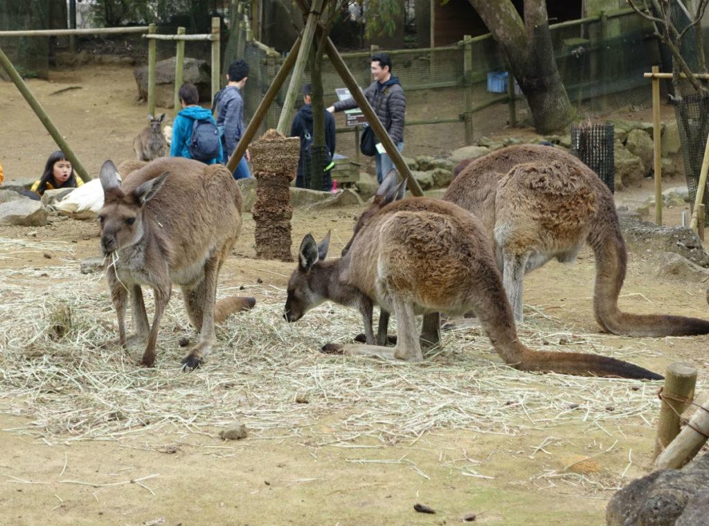 伊豆シャボテン動物公園 カンガルーの丘 クロカンガルー