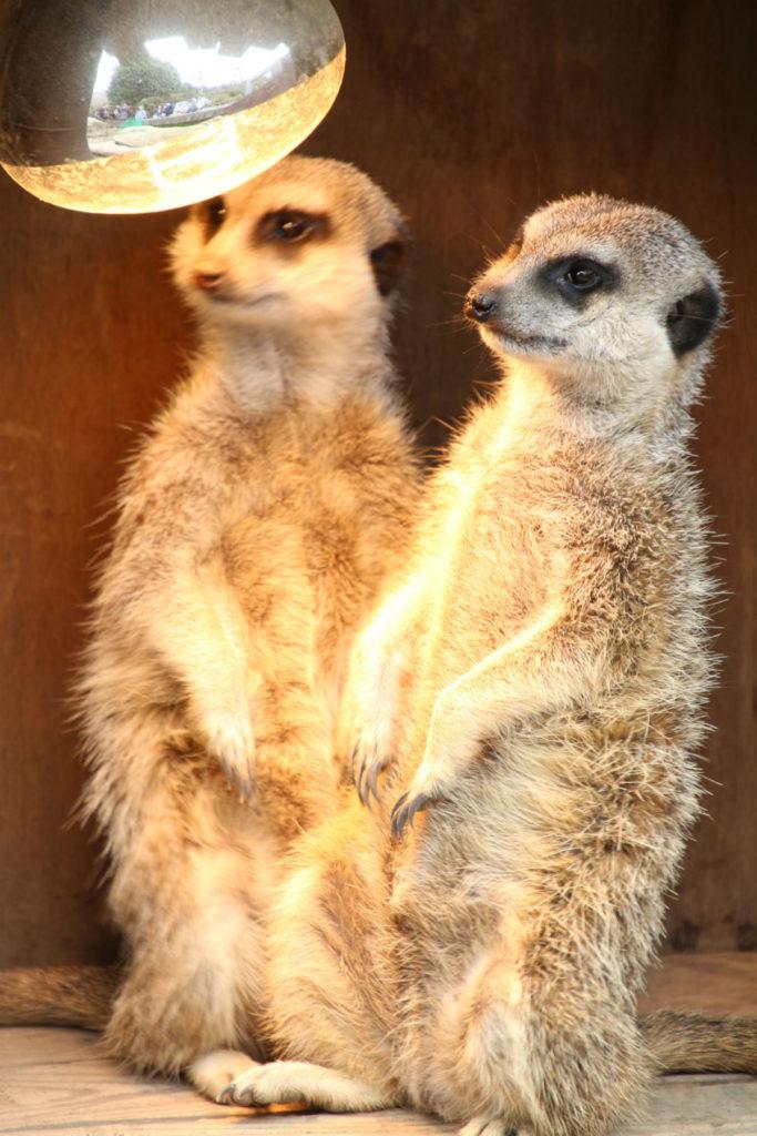 伊豆シャボテン動物公園 暖を取るミーアキャット