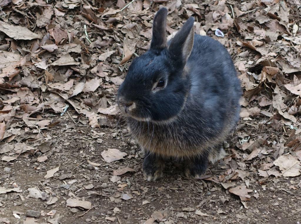 きらの里 ウサギ 黒