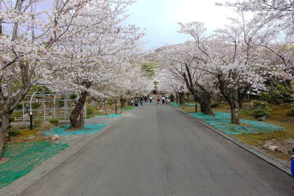 小樽 宏楽園 桜並木