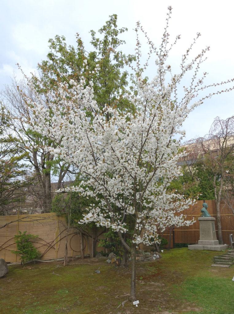 小樽 宏楽園 冬桜 全景