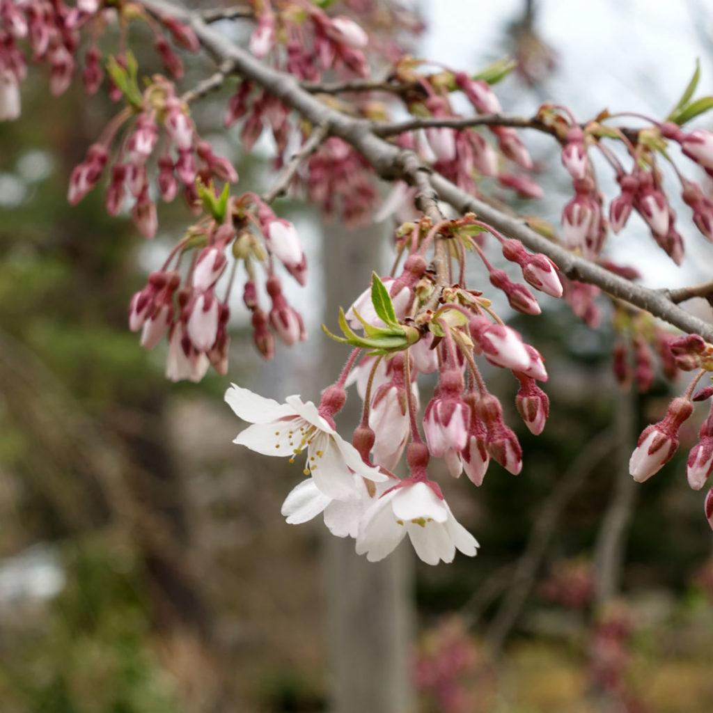 小樽 宏楽園 庭のさくら 遅咲きの種類か