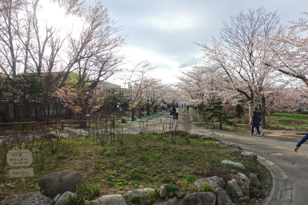 小樽 宏楽園 ロータリーと桜並木