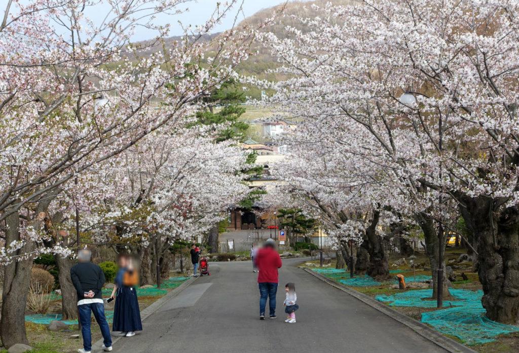 小樽 宏楽園 桜並木 その二