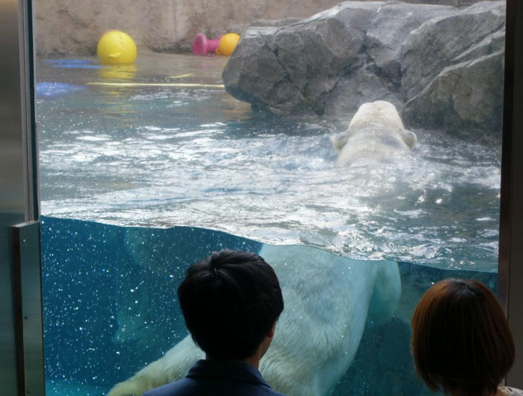 北海道旭山動物園 ほっきょくぐま館 プールで泳ぐ