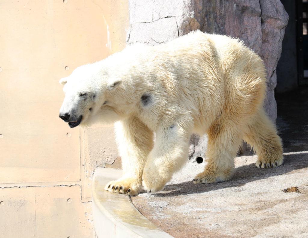 北海道旭山動物園 ほっきょくぐま館 屋外 クマアップ