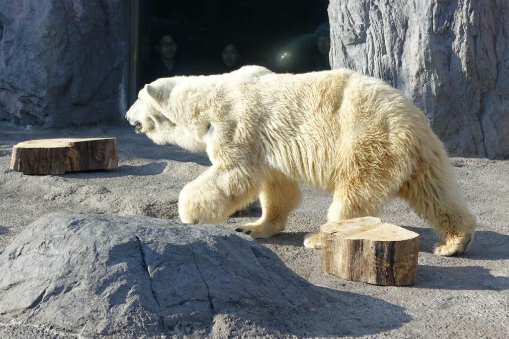 北海道旭山動物園 ほっきょくぐま館 小さい耳としっぽ