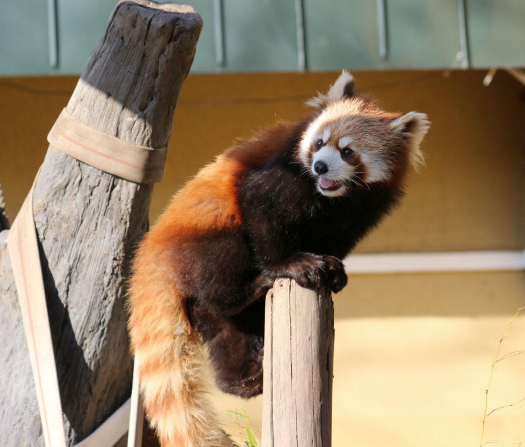 北海道旭山動物園 レッサーパンダ舎 振り返るレッサーパンダアップ